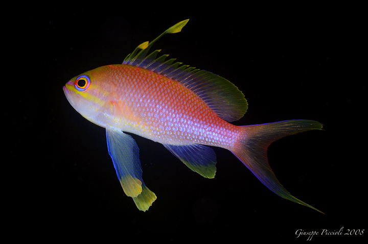 /images/schede/foto_schede/a/anthias_anthias.jpg