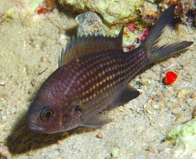 /images/schede/foto_schede/c/chromis_chromis.jpg